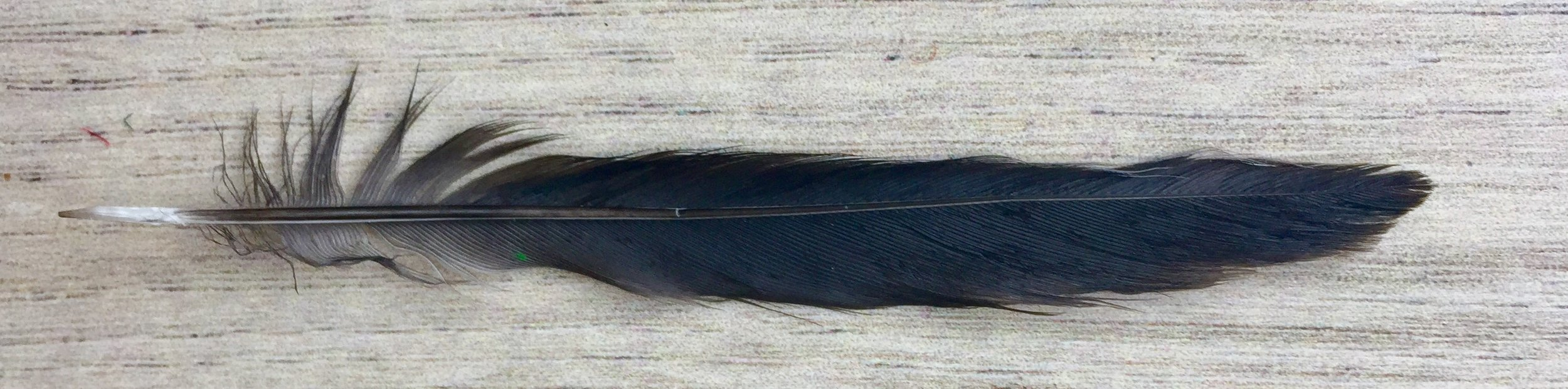 The little feather I found.
