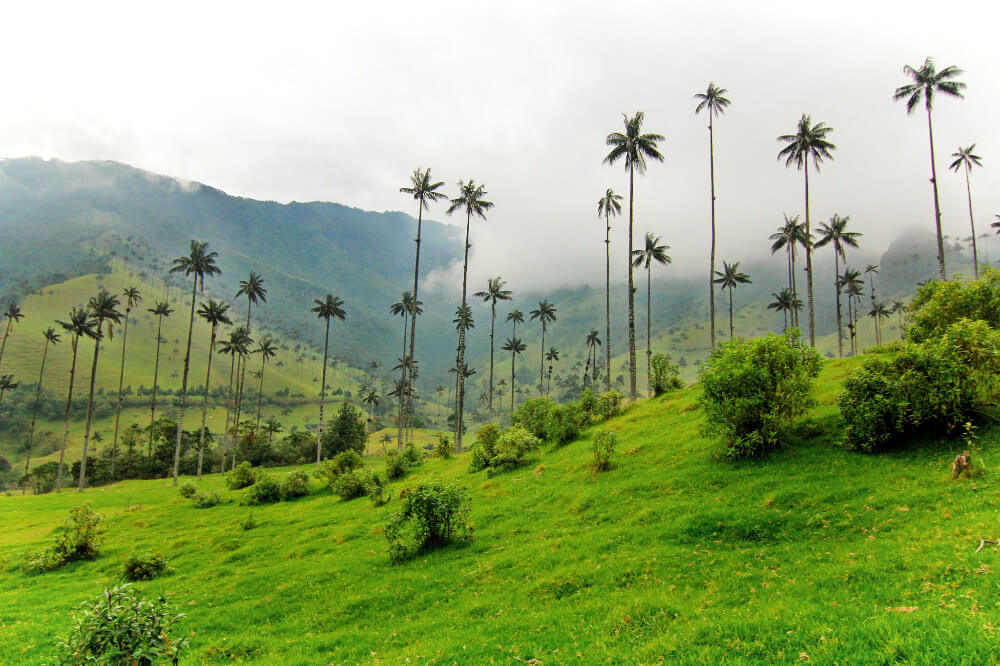 Valle de Cocora - In a country full of beautiful landscapes, Cocora is one of the most striking. It stretches east of Salento into the lower reaches of the Los Nevados ountains and national park, with a broad green valley framed by sharp peaks. Everywhere you'll see palma de cera (wax palm), the largest palm in the world (up to 60m tall). It's Colombia's national tree. Set amid the misty green hills, they are breathtaking to behold.'Cocora' was the name of a Quimbayan princess, daughter of the local chief Acaime, and means 'star of water'. The valley is part of the Los Nevados National Natural Park, incorporated into the existing national park by the Colombian government in 1985.
