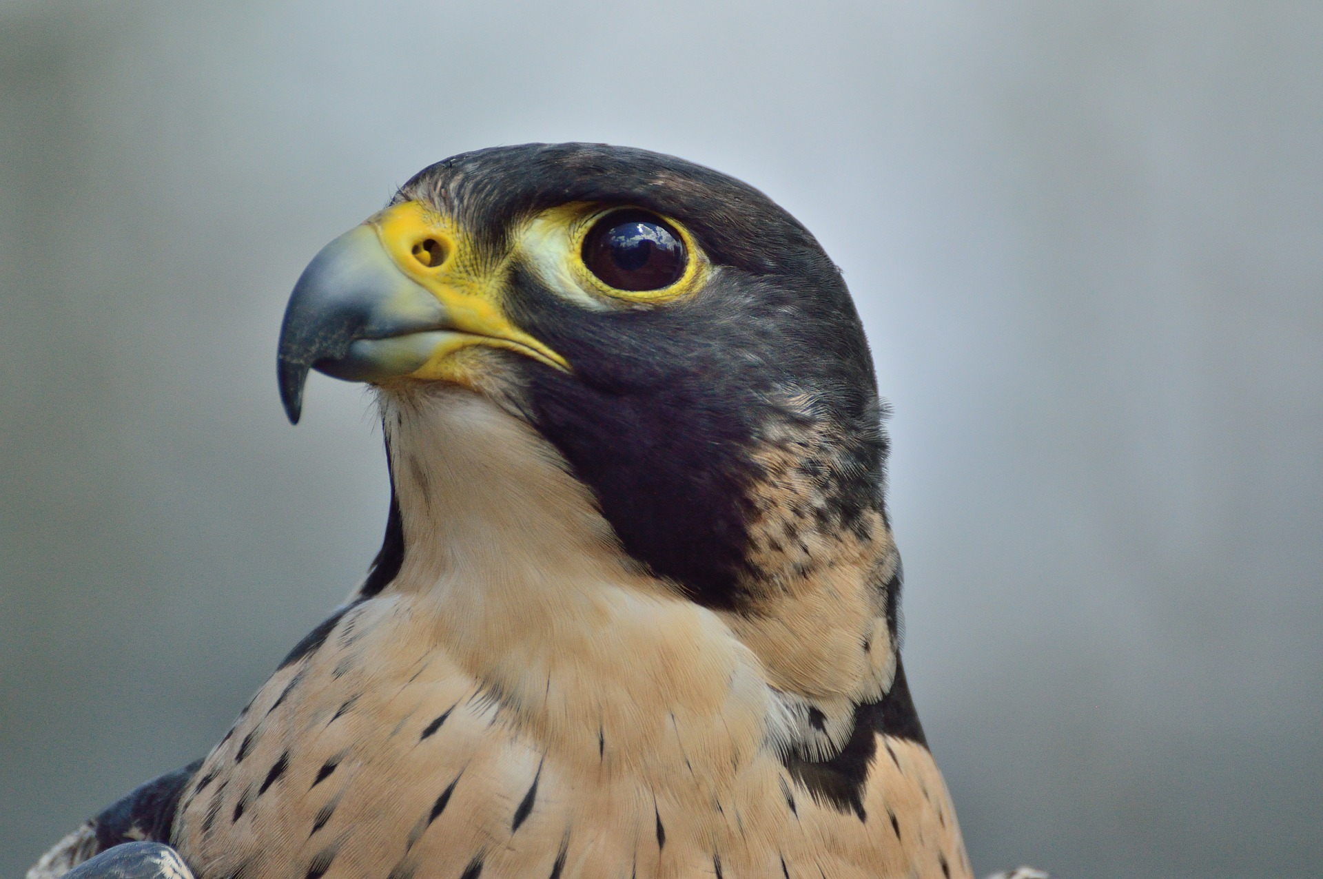 peregrine-falcon-371610_1920.jpg