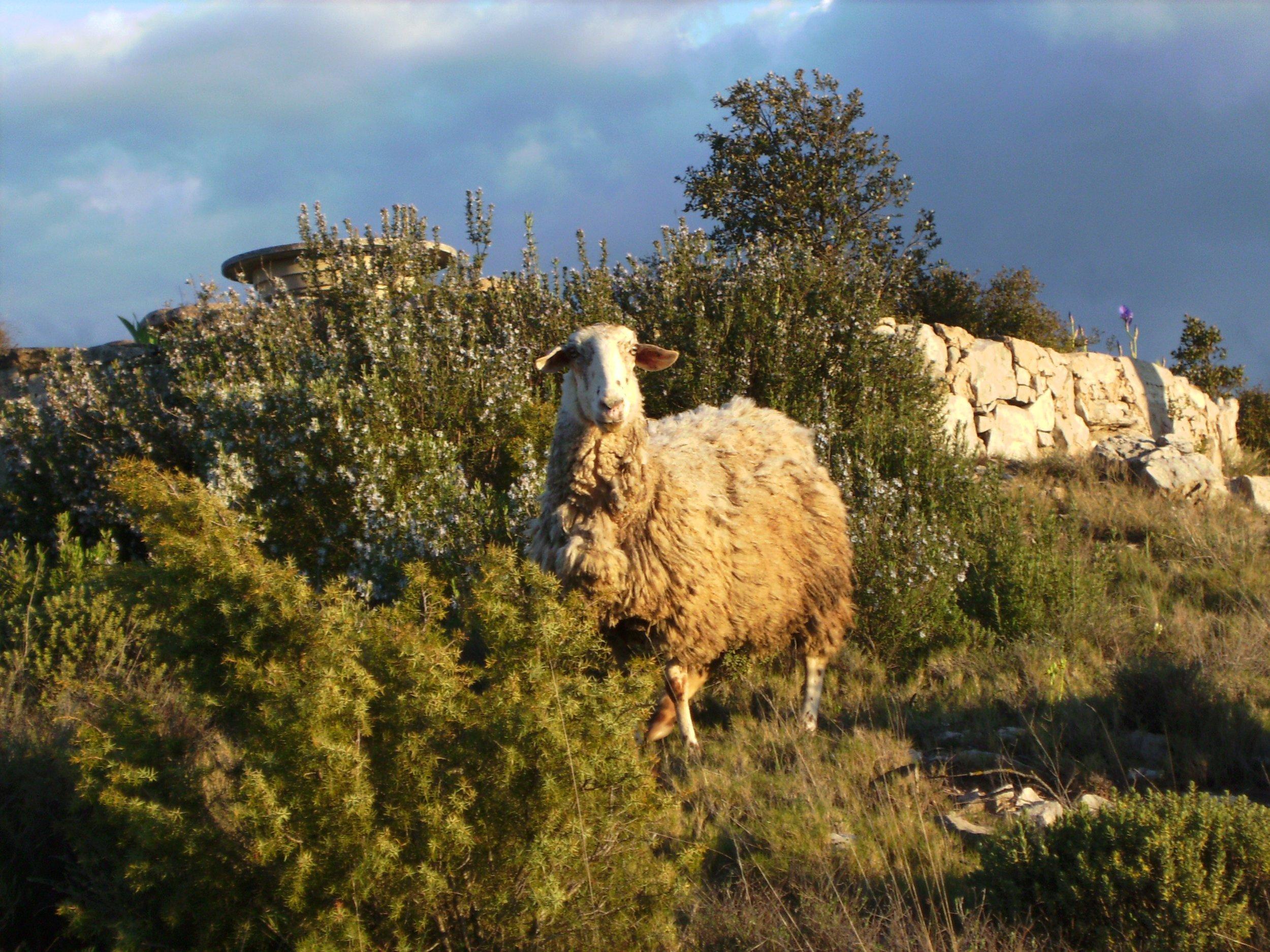 The_lost_sheep image.jpg