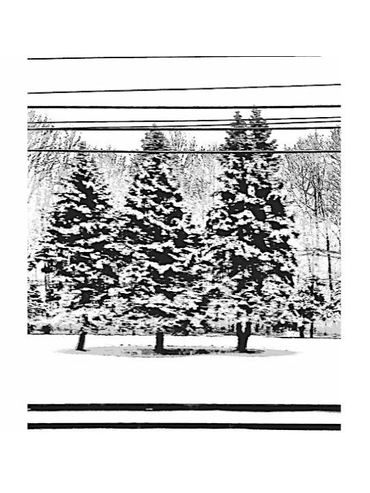 3 Pines in Snow.jpg