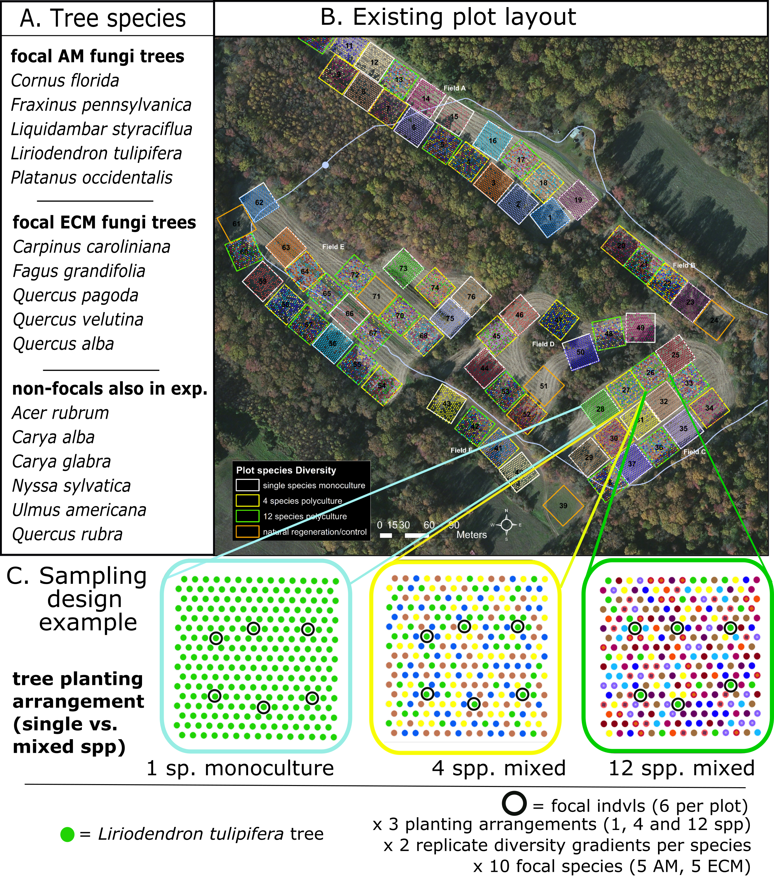 Experimental Set-up - I use a focal tree design that examines plants within a similar spatial array but that differ in the diversity neighborhood they grow within.