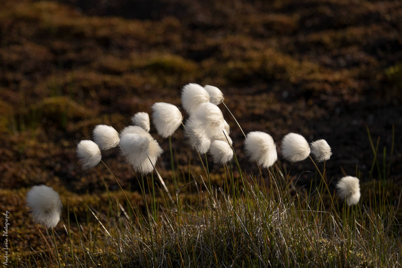 cotton grass (Eriophorum)