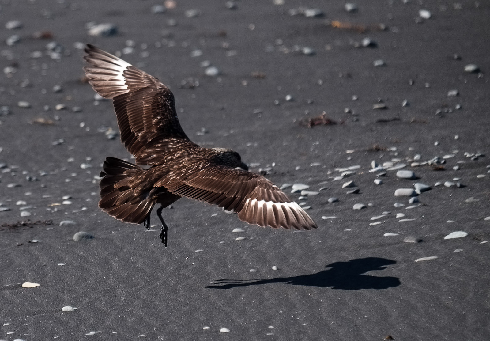 The great skua is a pirate of the seas, deliberately harrassing birds as large as gannets to steal a free meal. Jökulsárlón area.
