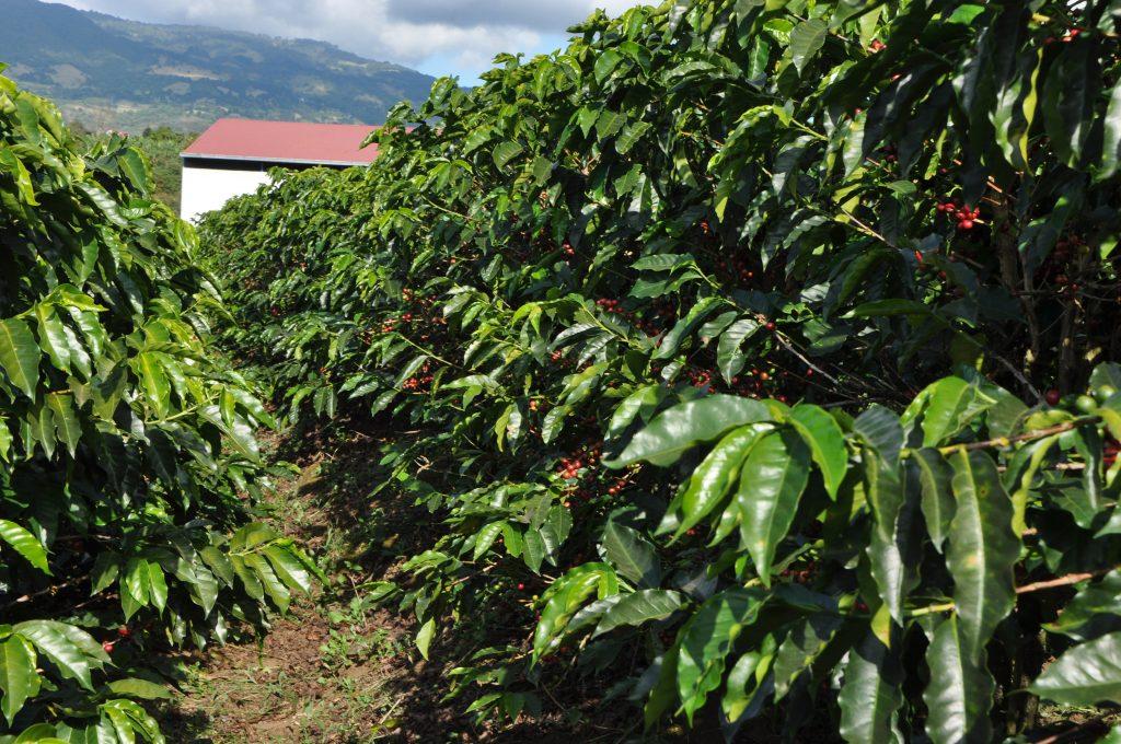 Tarrazu Valley, Costa Rica