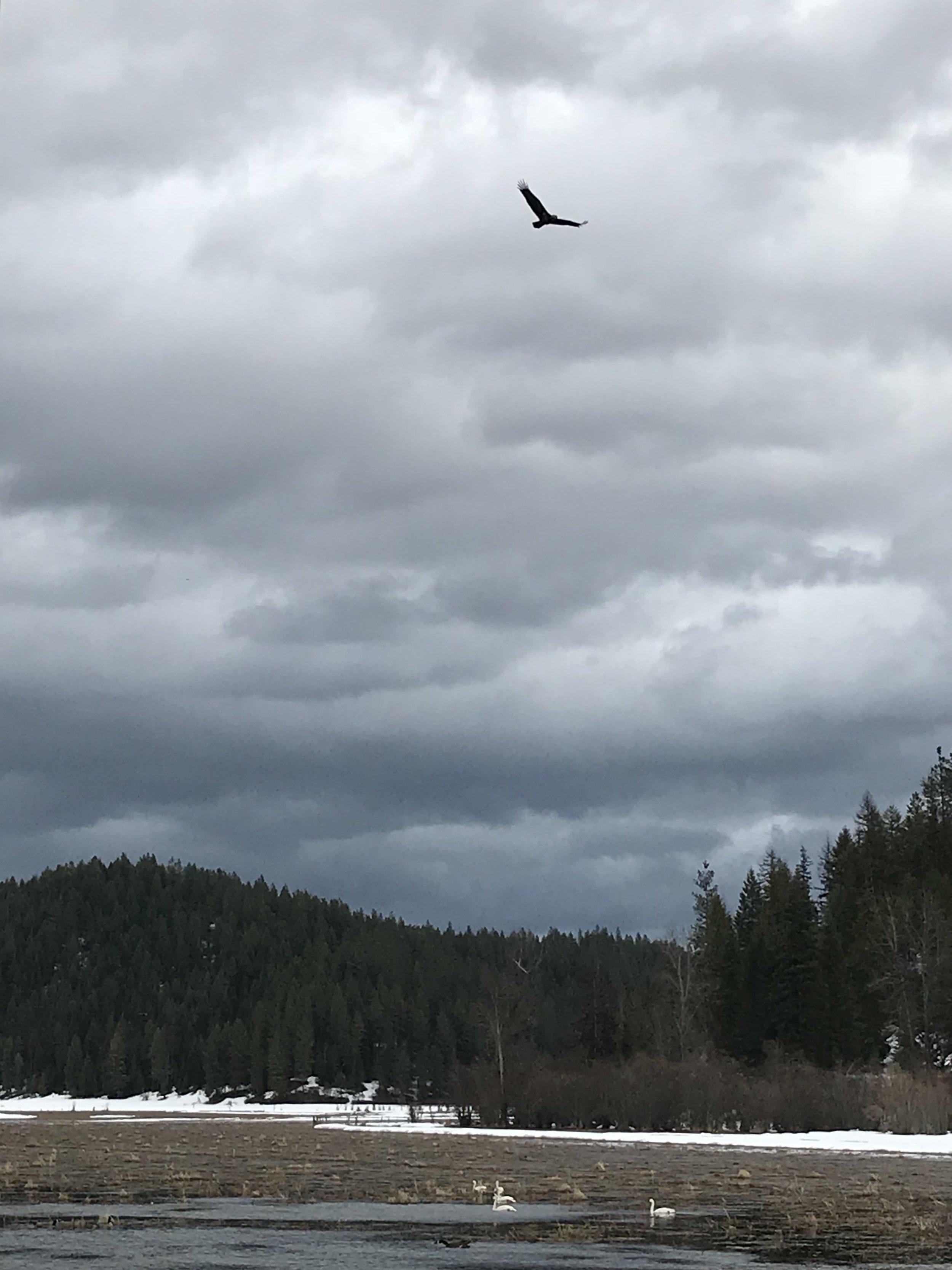 Eagle + swans