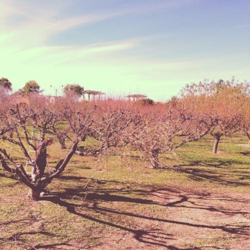 Peach Pruning