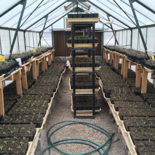 Potted up tomatoes, peppers and eggplant in the greenhouse