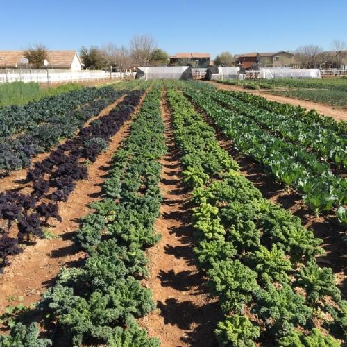 Kale field block