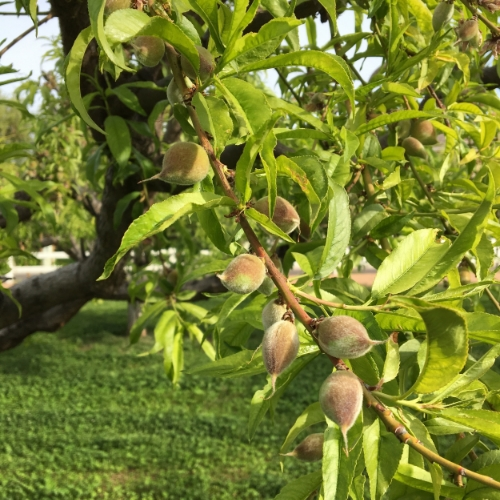 Peaches are sizing up nicely