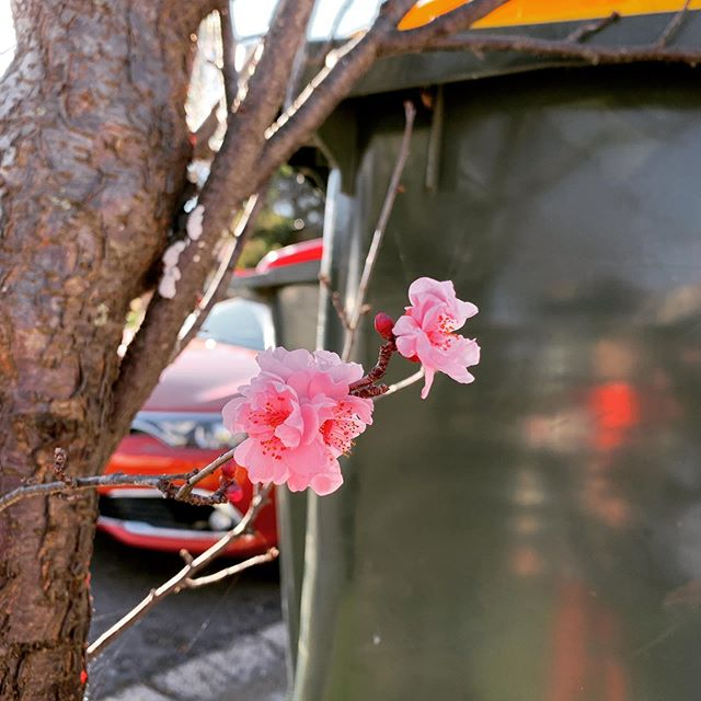 The sign that another year has passed. #marrickvillesakura begins again.