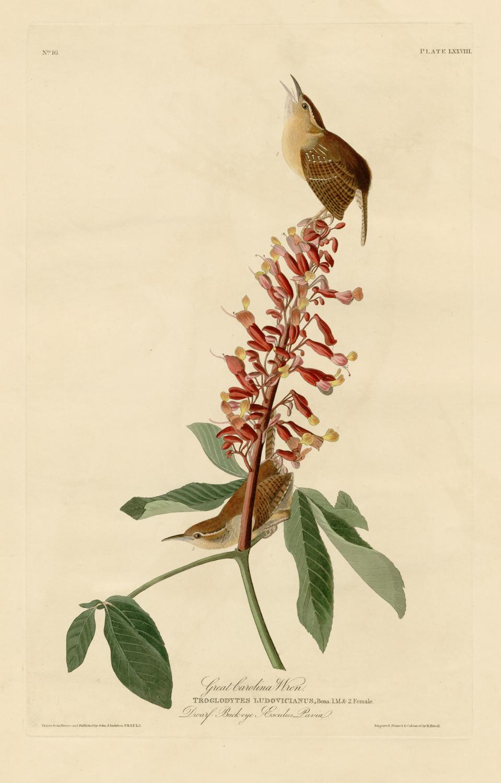 Great Carolina Wren - Plate 78 of Birds of America by John James Audubon