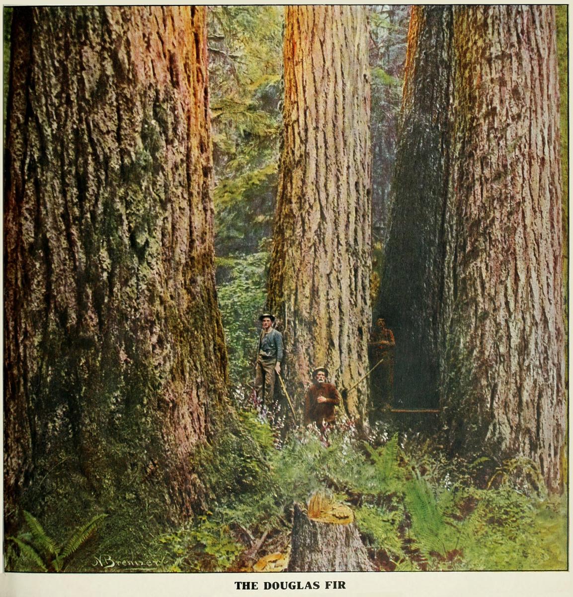 Douglas Fir, American Forestry (1910-1923).
