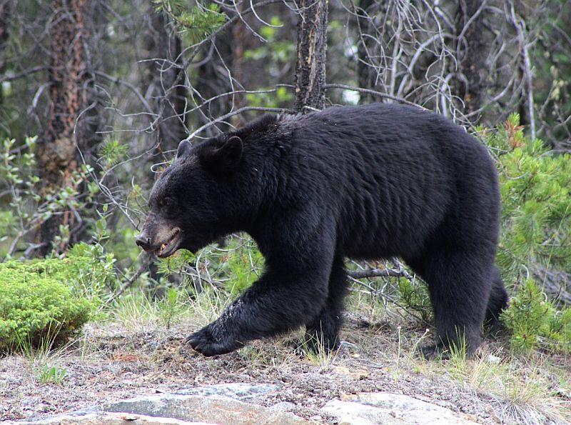 Black Bear - Jasper National Park, AB, Canada by Kajsa Dawn