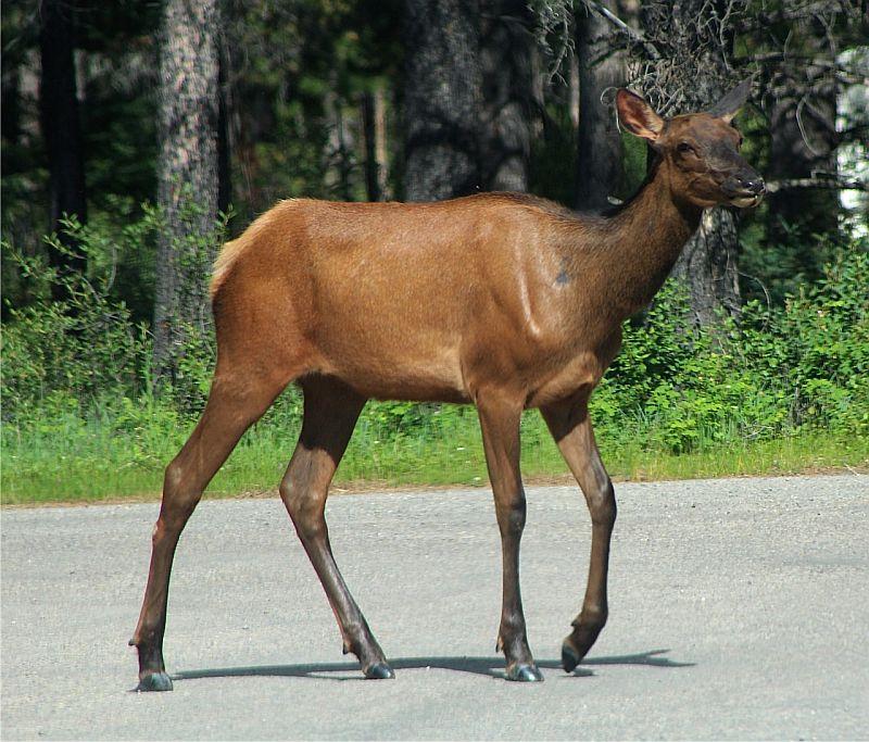 Young Elk - Jasper National Park, Canada by Kajsa Dawn