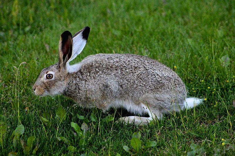 Snowshoe Hare - Calgary, AB, Canada by Kajsa Dawn