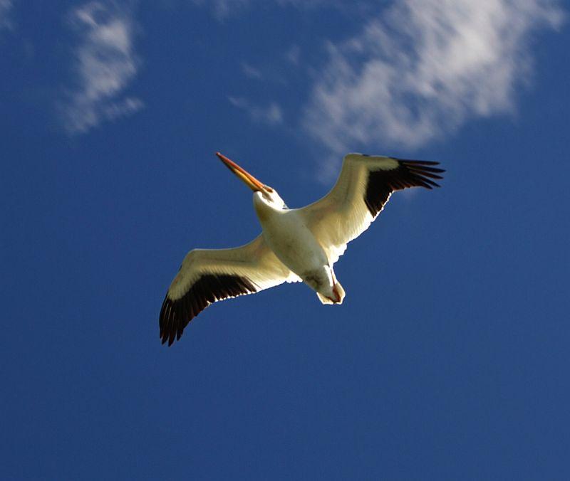 American White Pelican - Half Moon Lake, AB, Canada by Kajsa Dawn