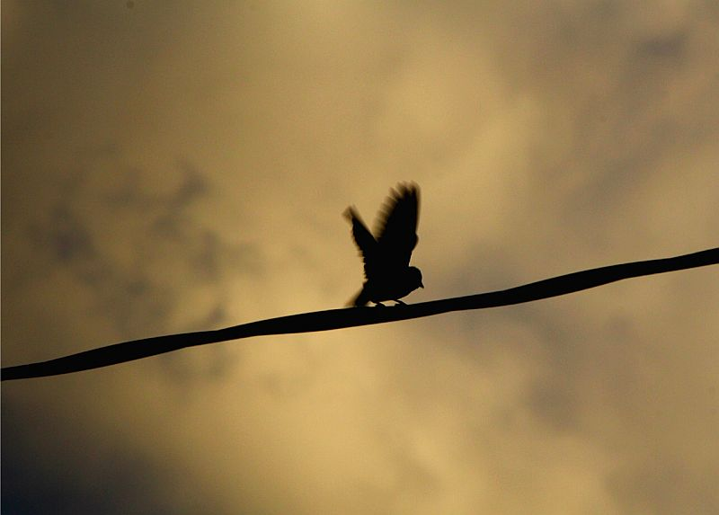 Silhouette of Song Sparrow - Vavenby, BC, Canada by Kajsa Dawn