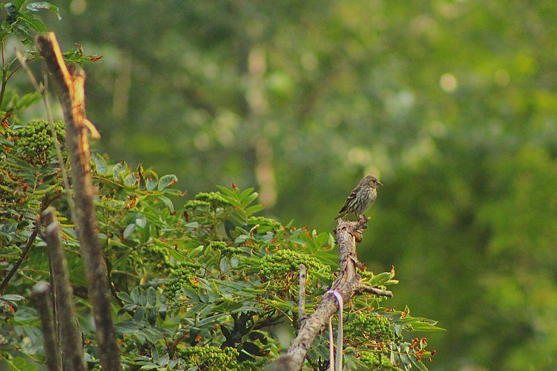 Song Sparrow - Vavenby, BC, Canada by Kajsa Dawn