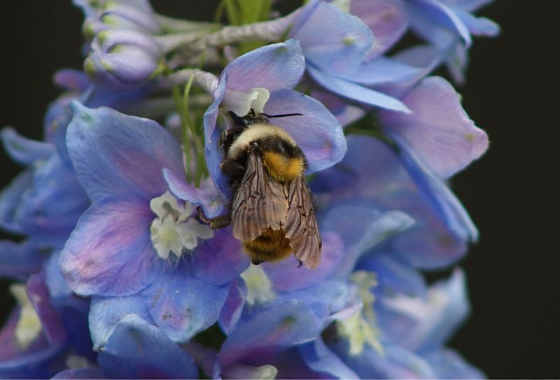 Bumble Bee on Sky Pilot - Vavenby, BC, Canada by Kajsa Dawn