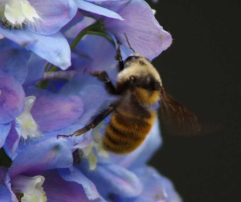 Bumble Bee on Sky Pilot 2 - Vavenby, AB, Canada by Kajsa Dawn