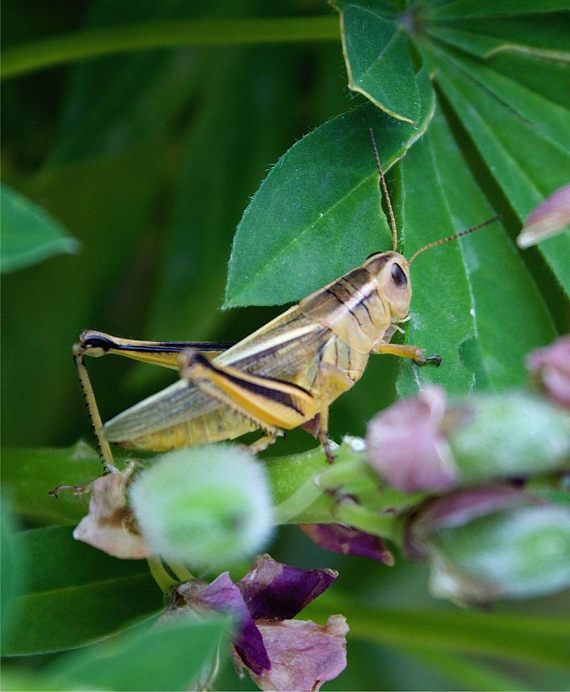 Grasshopper on Lpine - Calgary, AB, Canada by Kajsa Dawn