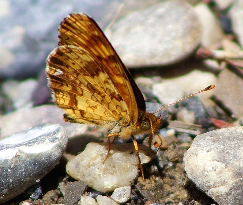 Field Crescent Brushfoot Butterfly - Peter Lougheed National Park, AB, Canada  by Kajsa Dawn