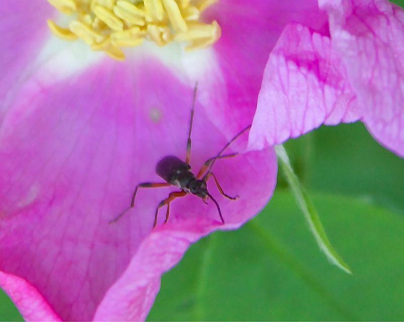 Insect on Wild Rose - Sylvan Lake, AB, Canada by Kajsa Dawn