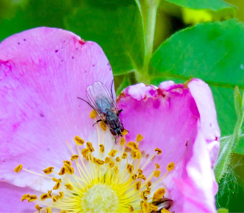Fly on Wild Rose - Sylvan Lake, AB, Canada by Kajsa Dawn