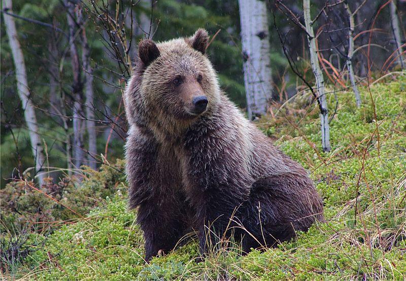 Grizzly Bear - Ya Ha Tinda, AB, Canada by Kajsa Dawn