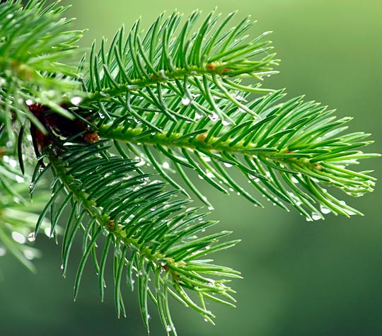 Pinene : found in pine needles; anti-inflammatory/bronchodilator/aids memory/anti-bacterial/mental stimulant