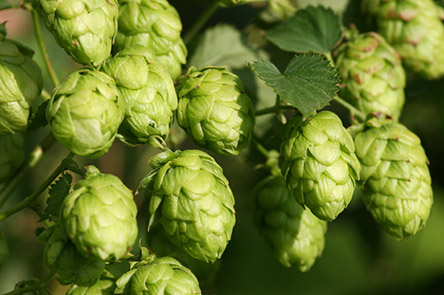 Humulene : found in hops; analgesic/anti-bacterial/anti-inflammatory/anti-cancer/appetite suppressant