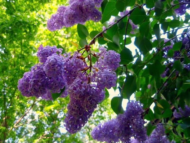 Terpinolene : found in lilac & apples; anti-bacterial/anti-fungal/anti-cancer/aids in sleep/antioxidant