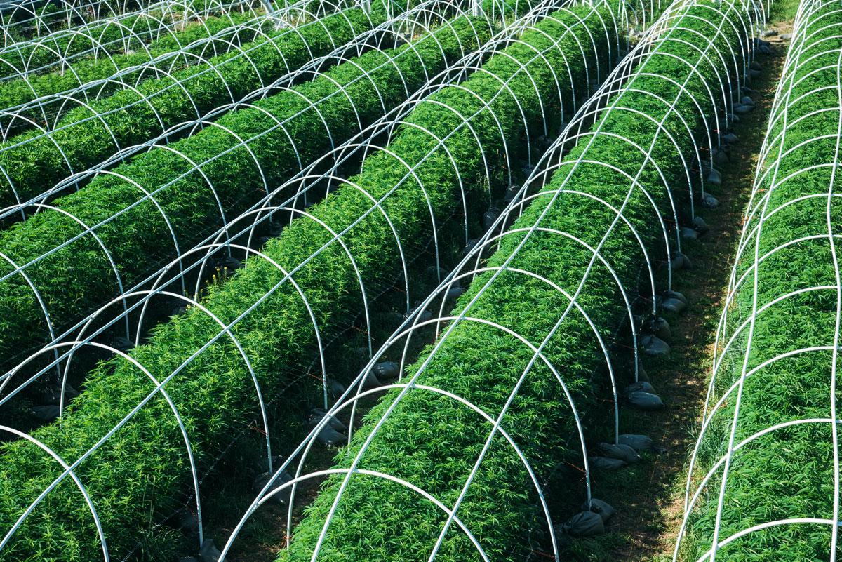clean-green-certified-sungrown-cannabis-lazy-bee-gardens-1.jpg