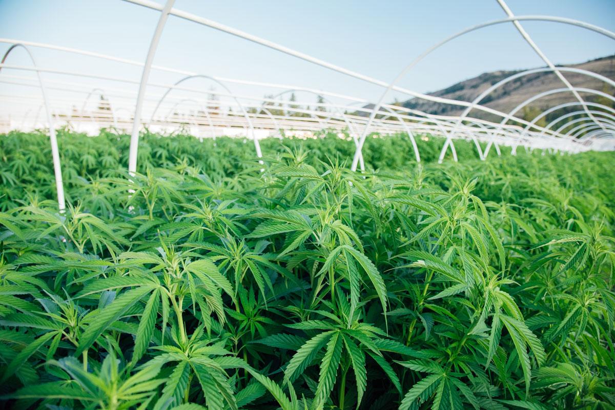 clean-green-certified-sungrown-cannabis-lazy-bee-gardens-2.jpg
