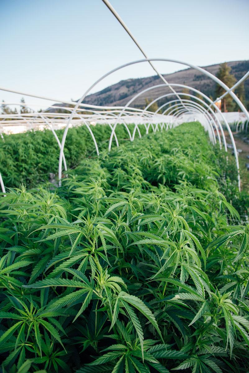 clean-green-certified-sungrown-cannabis-lazy-bee-gardens-4.jpg