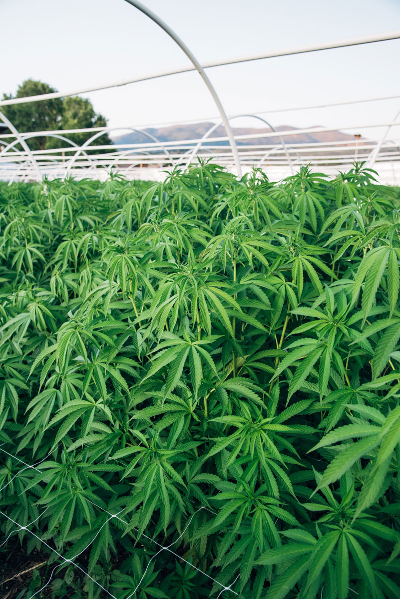 clean-green-certified-sungrown-cannabis-lazy-bee-gardens-5.jpg
