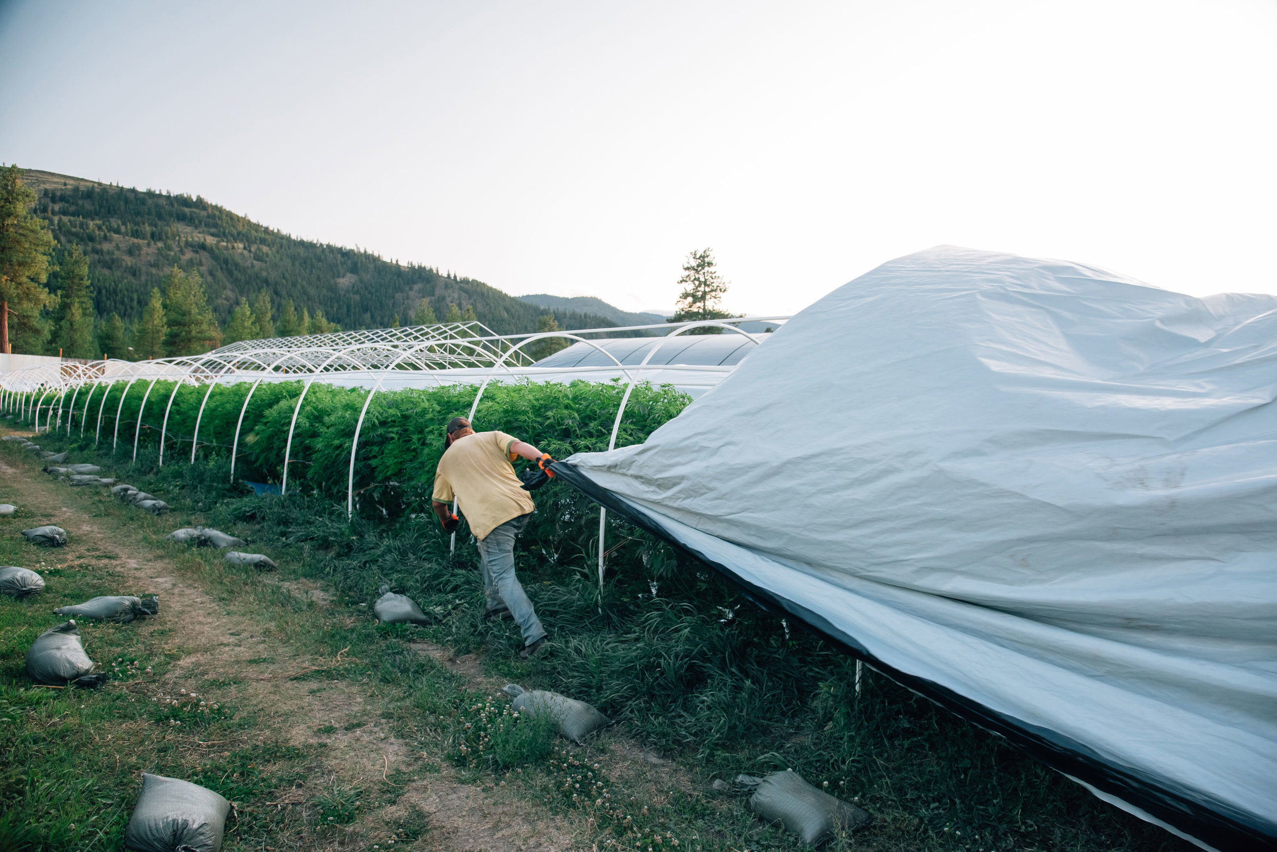 clean-green-certified-sungrown-cannabis-lazy-bee-gardens-7.jpg