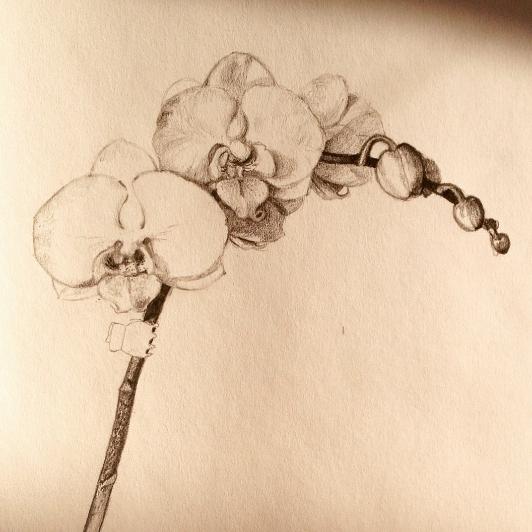 Initial pencil drawing of a white orchid