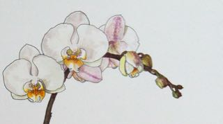 Pen and watercolour, orchid, detail