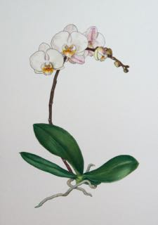 Pen and watercolour, orchid