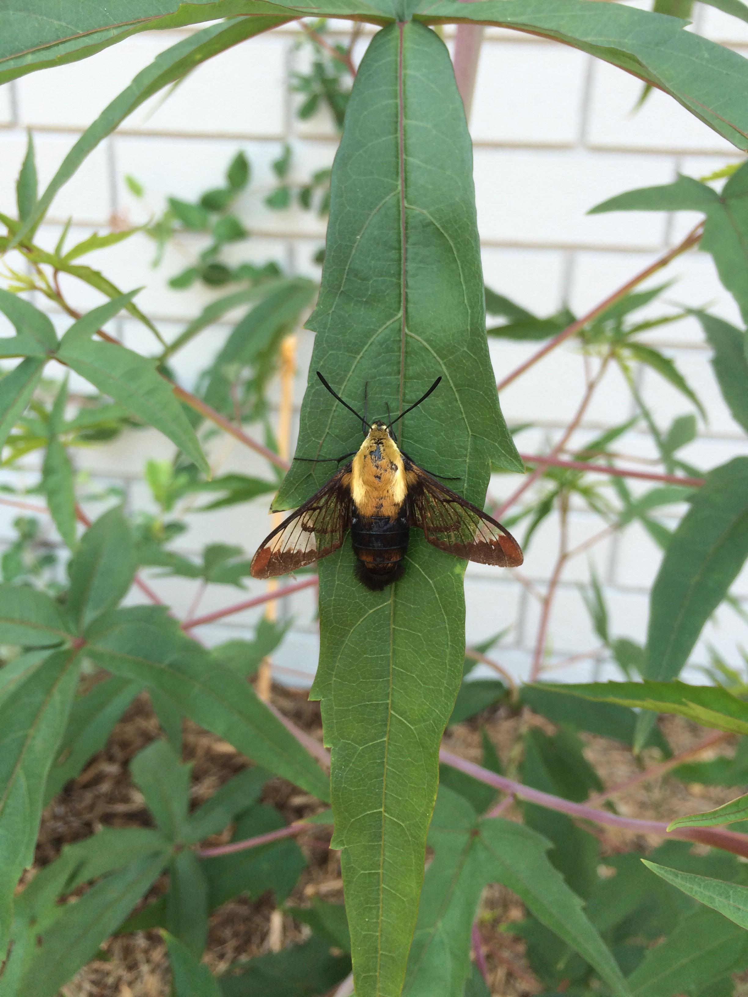 Hummingbird Moth on Scarlet Rosemallow