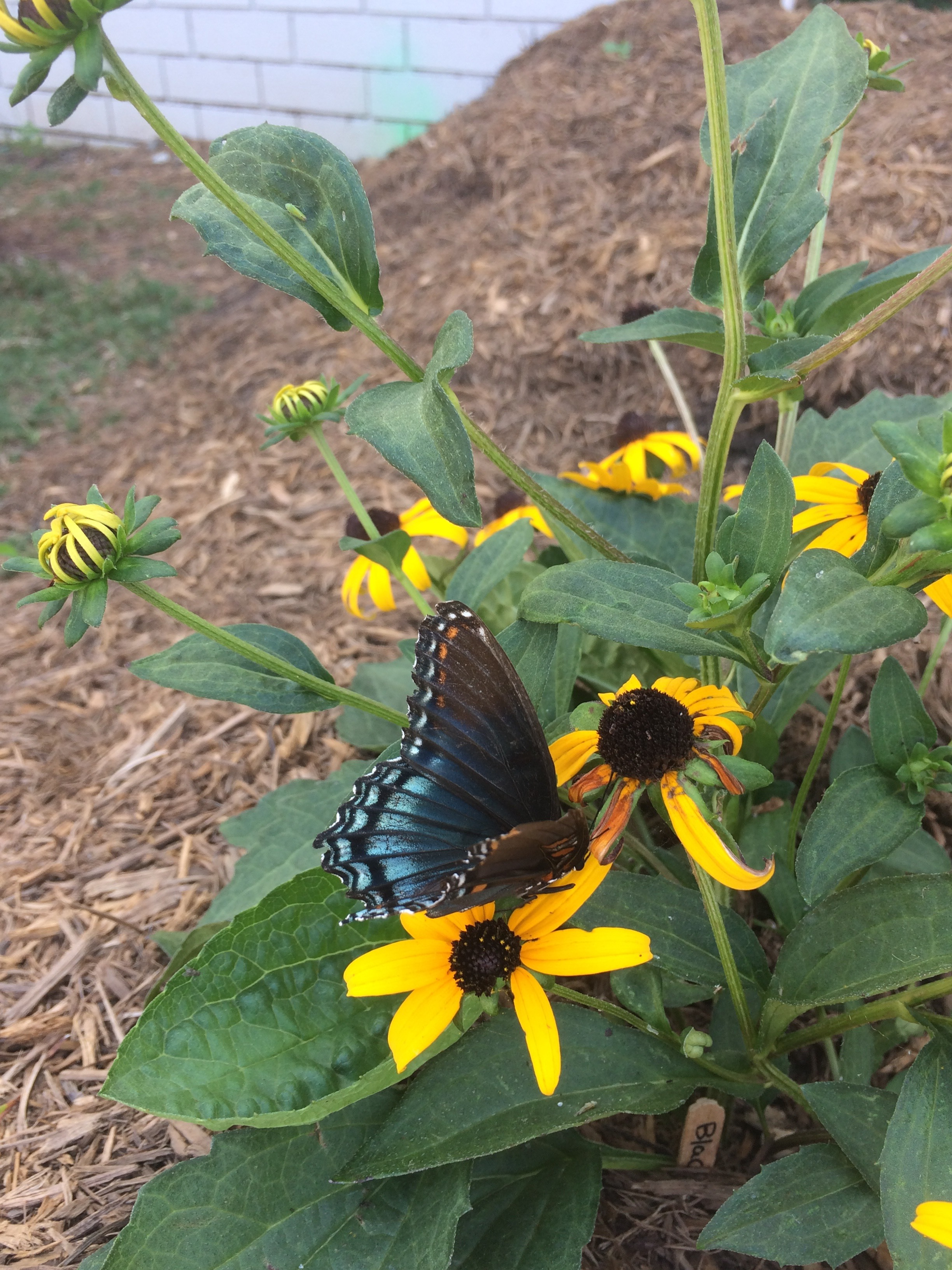 Red-Spotted Purple Butterfly on Black-Eyed Susan