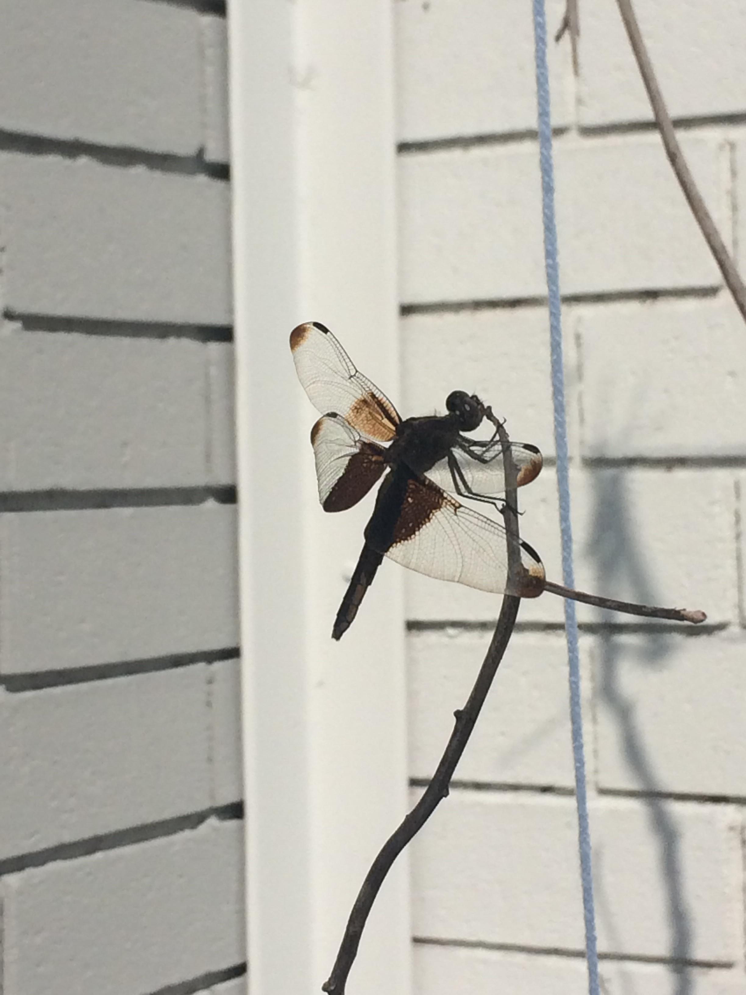 Widow Skimmer D  ragonfly