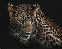 "Cautious Observer (2015) | Shone Chacko | 8x10"" | $450"