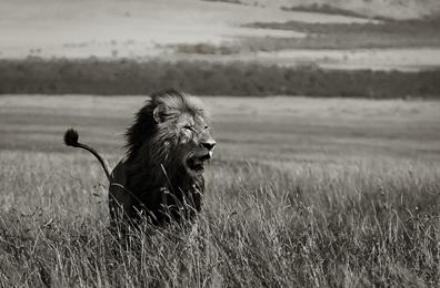 Teri Vershel - Lion 2