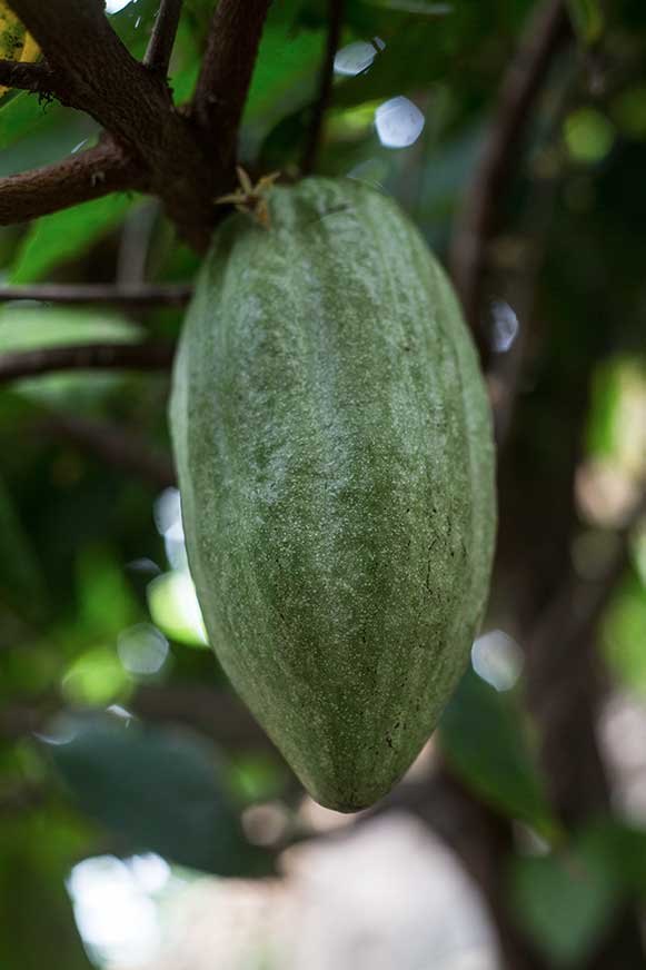 cacao_Minca_photo_tour.jpg