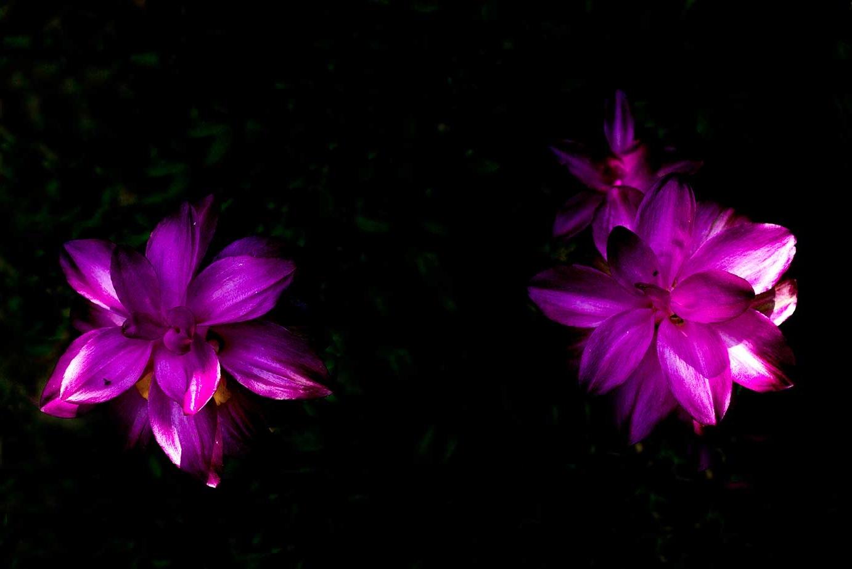 Nature's kitchen Tumeric flowers