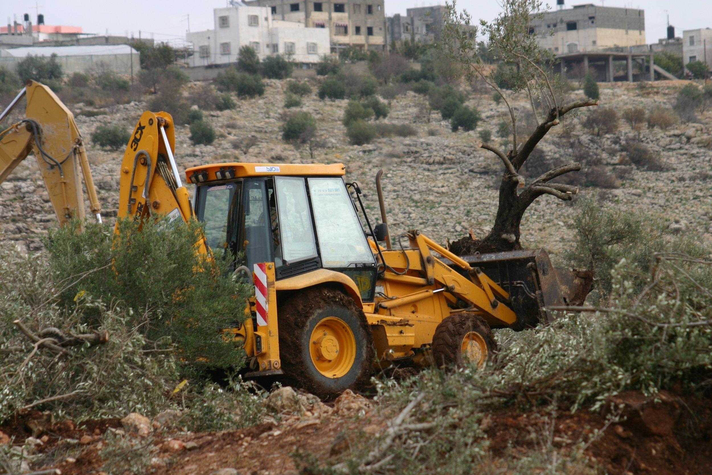 destruction of Olive Trees