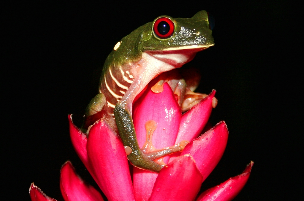 red eyed tree frog1.jpg